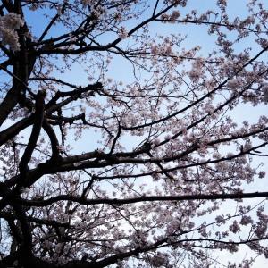 Beautiful cherry blossoms in Asakusa.