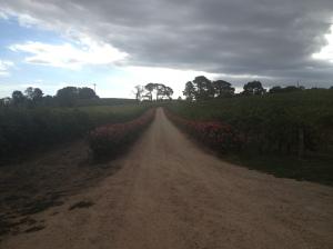 Beautiful vines in McLaren Vale